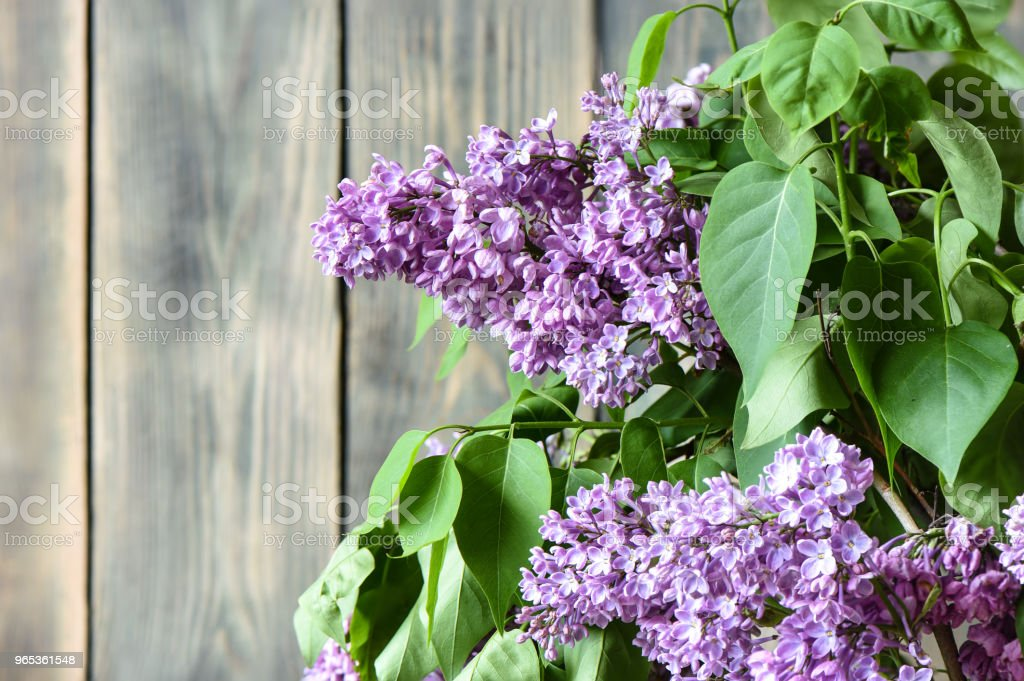 Lilac flowers at an old wooden fence royalty-free stock photo