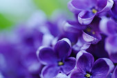 istock Lilac flowers background 533210727