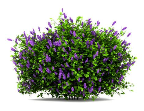 lilac flowers bush isolated on white background