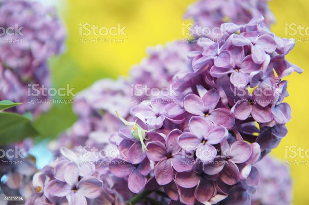 Flores lilás na primavera com uma aranha caranguejo escondido - Foto de stock de Arbusto royalty-free