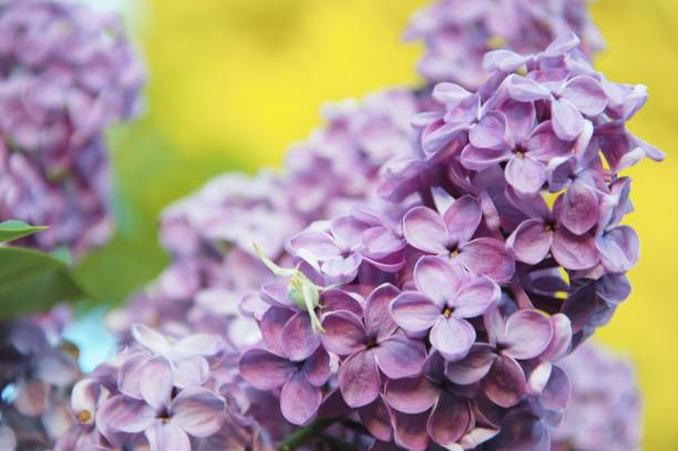 Lilac flowers in spring with a hidden crab spider Syringa vulgaris flowers with a white crab spider werken stock pictures, royalty-free photos & images