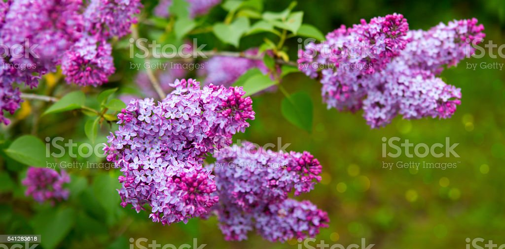 Lilac flowers isolated on green. Close-up beautiful lilac flowers with the leaves. Sweet Lilac on the green background.Green branch with spring lilac flowers. Backgrounds Stock Photo