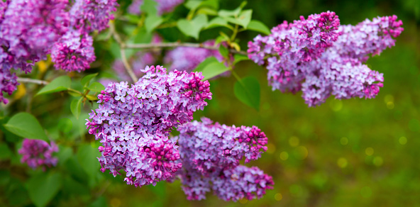 Lilac Flowers Isolated On Green Stock Photo - Download Image Now