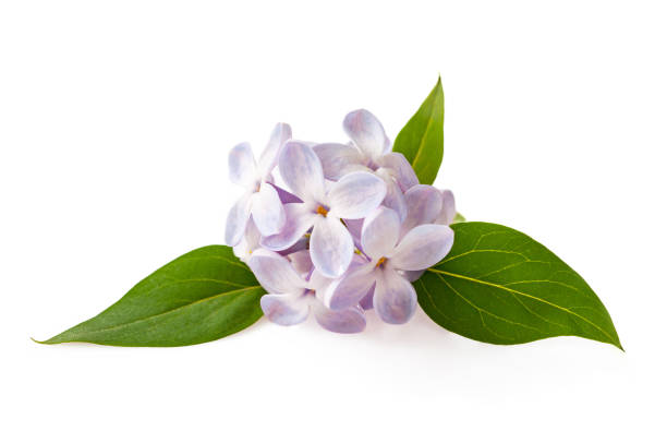 Lilac flowers isolated on white background stock photo
