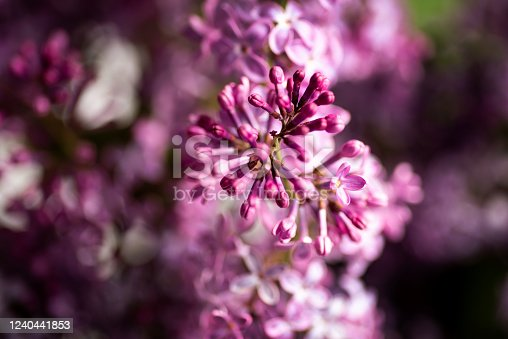 901386728 istock photo Lilac flowers macro detail 1240441853