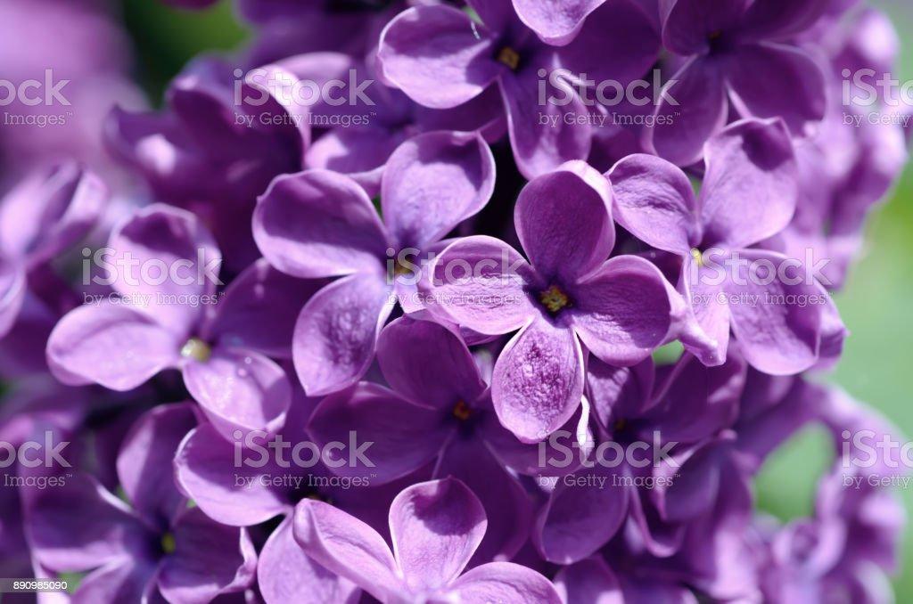 Lilac flowers macro stock photo