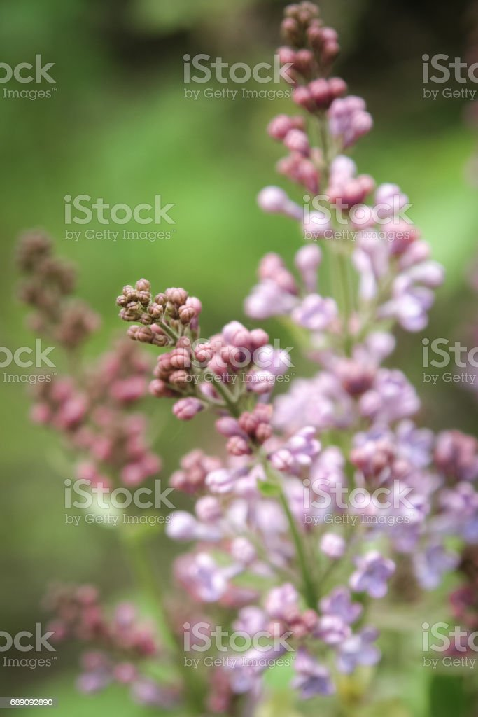 Lilac flowers on tree stock photo