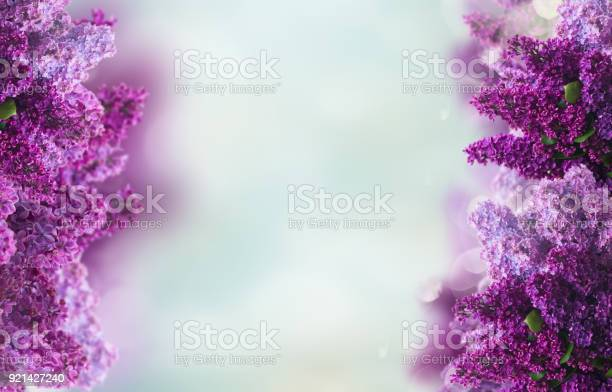 Lilac flowers on white picture id921427240?b=1&k=6&m=921427240&s=612x612&h=iiuatcnphze6br9o6zcg juyjxyabnjtwe5olg0jw0w=