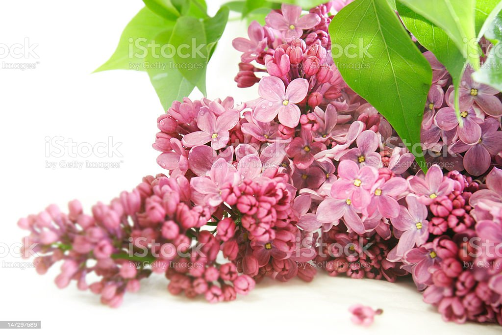 lilac flowers over white royalty-free stock photo
