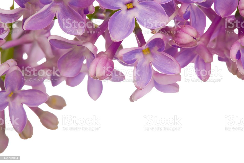 lilac flowers pattern stock photo
