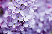 A cluster of lilac flowers.