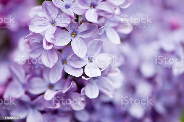 Lilac flowers picture id115055890?b=1&k=6&m=115055890&s=612x612&h=2d52wgxtjxyxl4wdry8xhzjjkvhqwvacof9wajangu8=