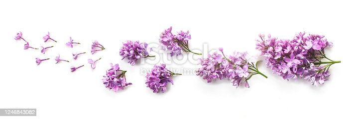 Lilac flowers on a white background. Top view