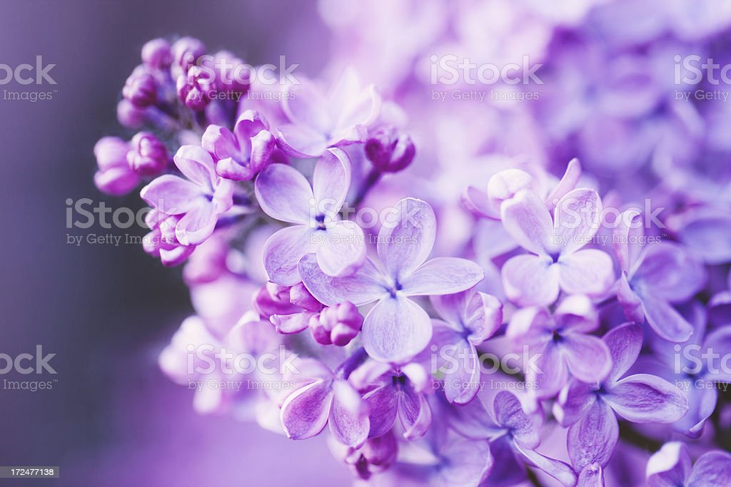 Lilac flowers - Royalty-free Abstract Stock Photo
