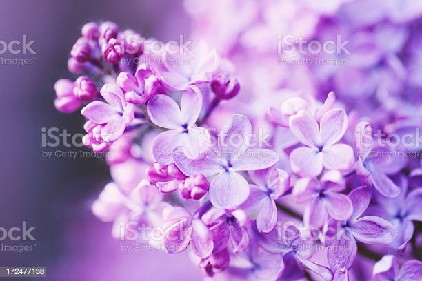 Lilac Flowers Stock Photo - Download Image Now