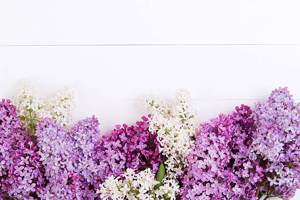 lilac flowers - maj bildbanksfoton och bilder