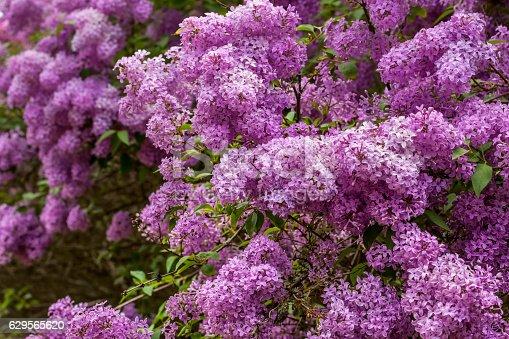 Syringa flowers  blossom
