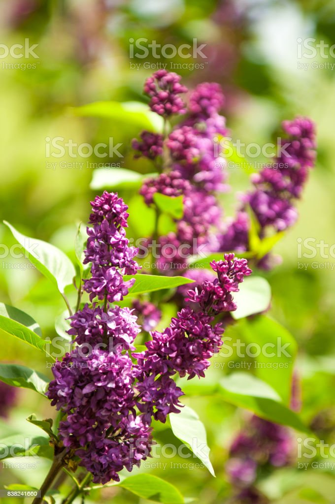 lilac flowers stock photo