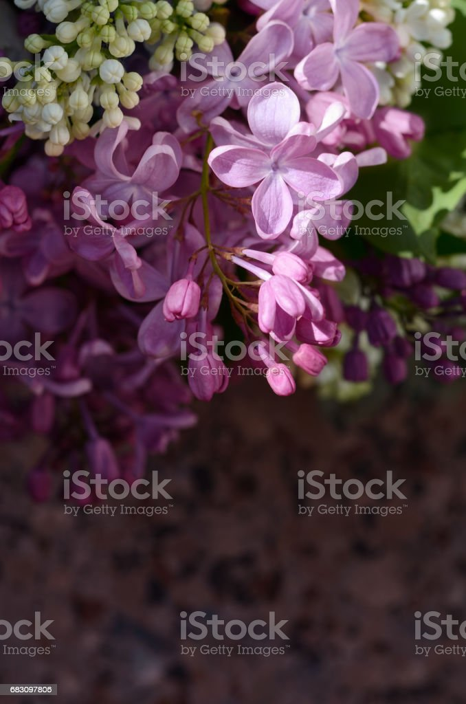 Lilac flowers. Purple and white spring flowers on a grey stone surgace. Floral background. foto de stock royalty-free
