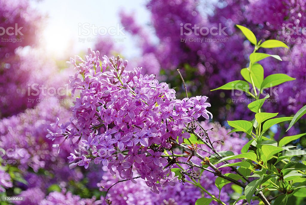 lilac flowers with green leaves royalty-free stock photo
