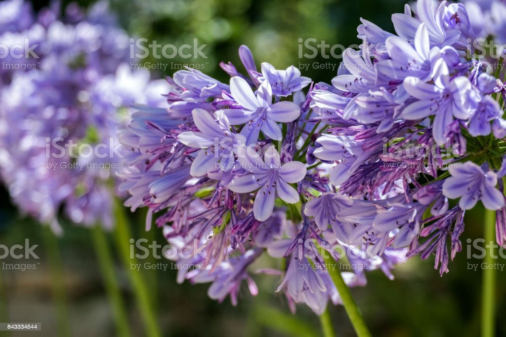 Lilac garden flowers with a globular inflorescence on a blurred background (Agapanthus africanus) stock photo