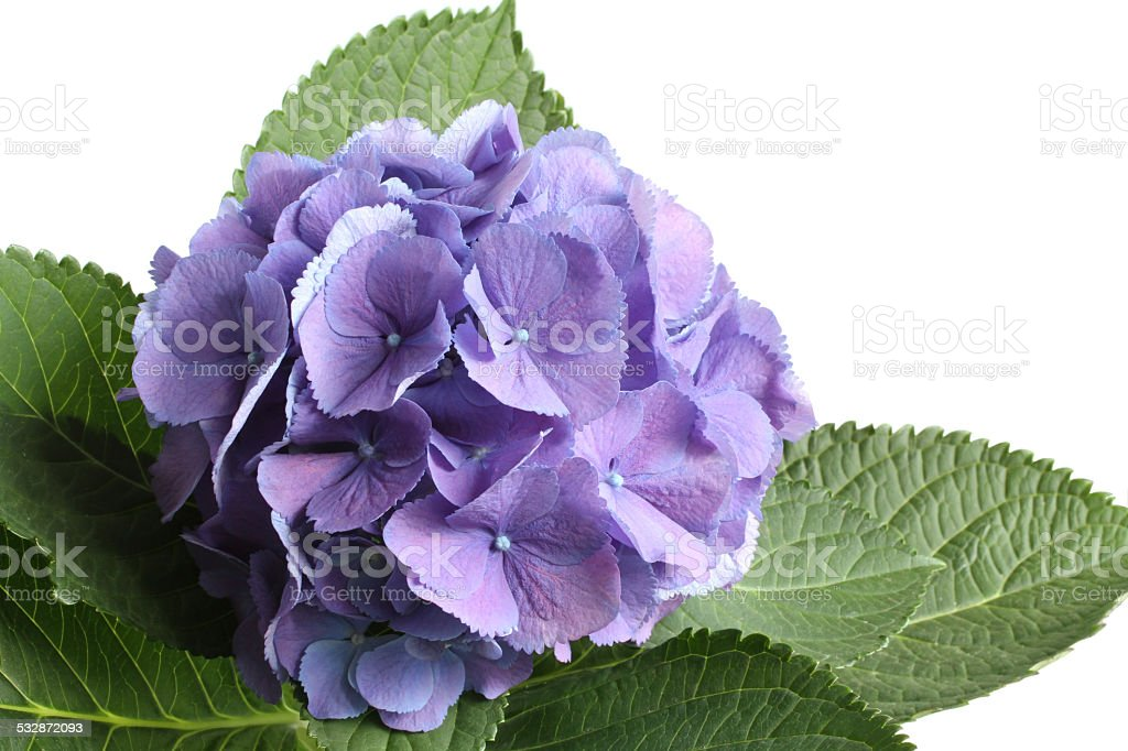 Lilac Hydrangea Isolated On White Stock Photo