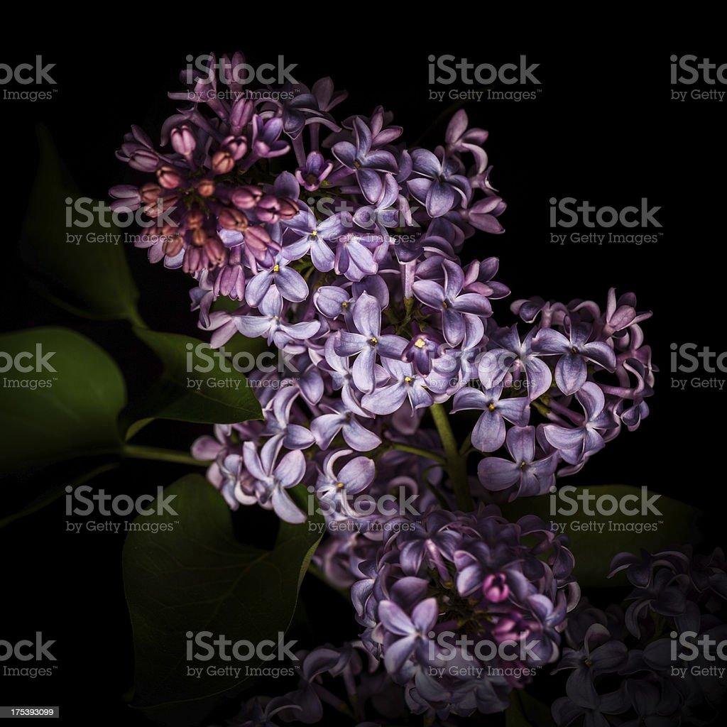 Lilac isolated on black background stock photo