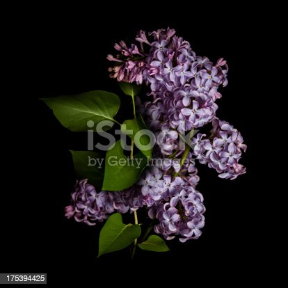 Lilac isolated on black background