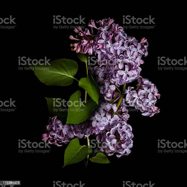 Lilac isolated on black background picture id175394425?b=1&k=6&m=175394425&s=612x612&h=lj9cqlqlfqliksfpxf6lyrxp7bbtkcccl kcxi6ygeg=