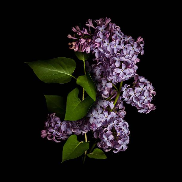 Lilac isolated on black background picture id175394425?b=1&k=6&m=175394425&s=612x612&w=0&h=iozbc4x 0vwzwidaxmsni 1oszoe7pevvtbzm09zkn0=