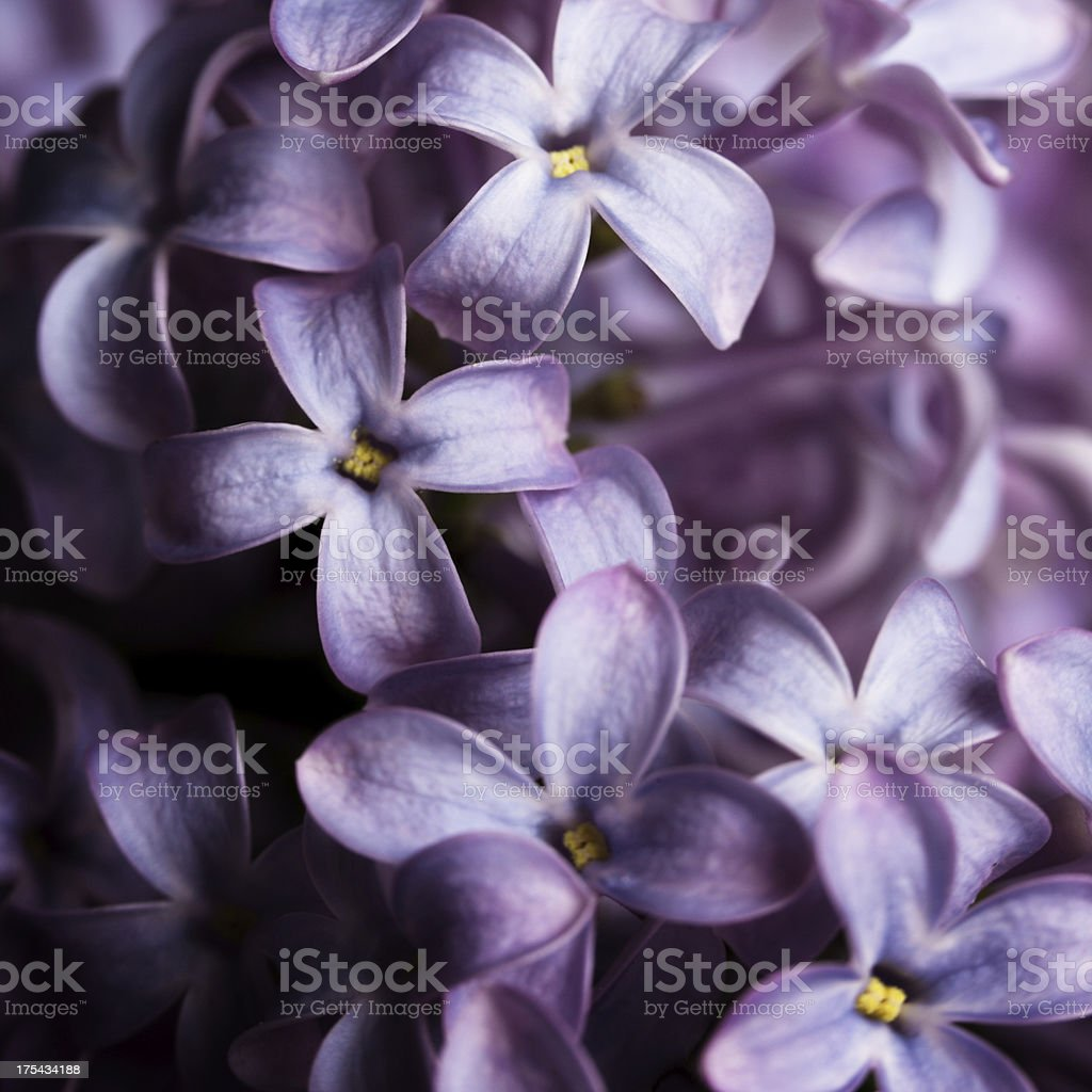 Lilac isolated on black background stock photo