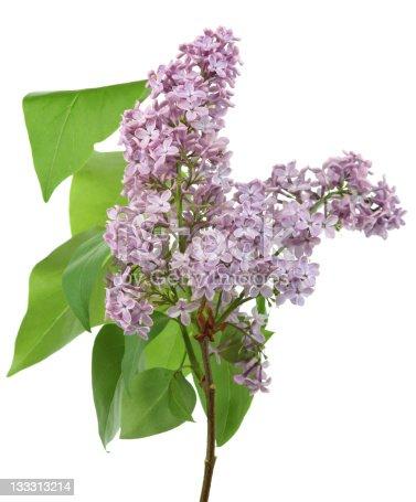 lilac (syringa) isolated on white