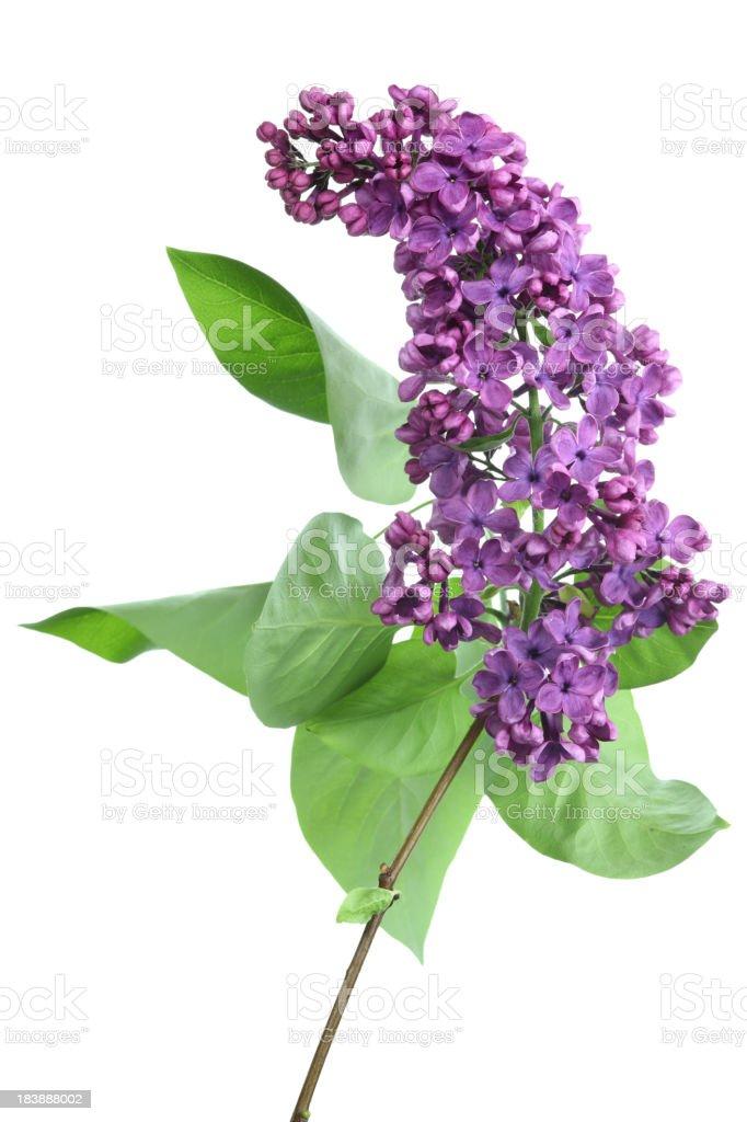 lilac (syringa) isolated on white stock photo