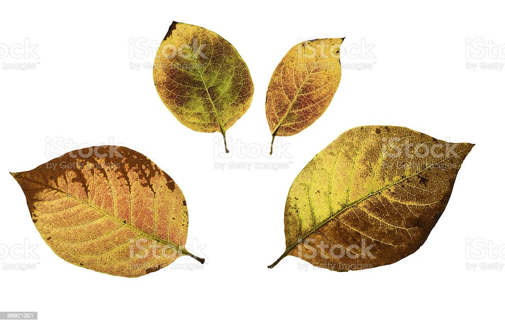 Lilac leaves royalty-free stock photo