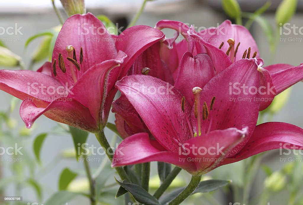 Lilac lilies royalty-free stock photo