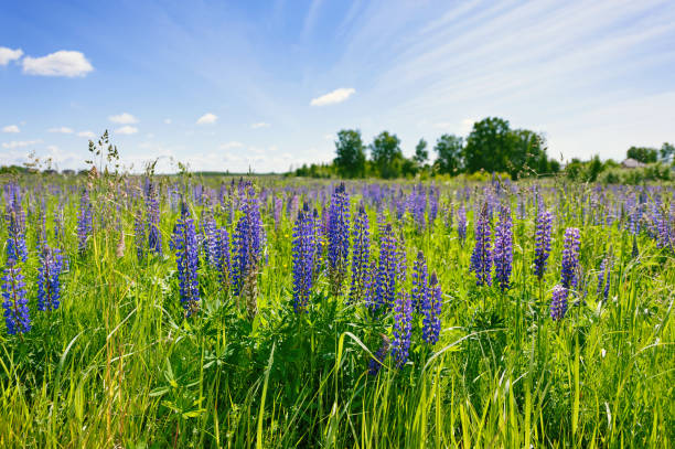 Cтоковое фото Lilac lupines in a green grass against the background of the blue sky with white clouds