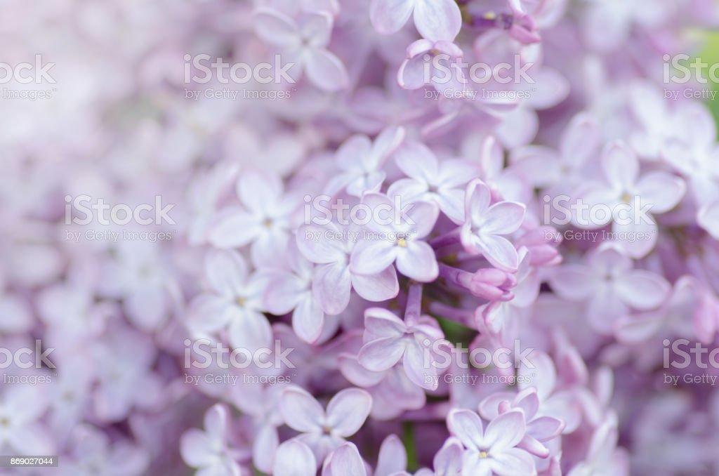 Foto de macro lila - foto de stock