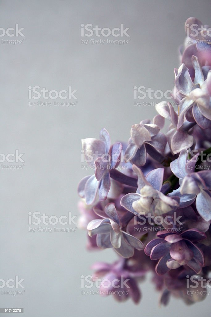 Lilac on blue background royalty-free stock photo