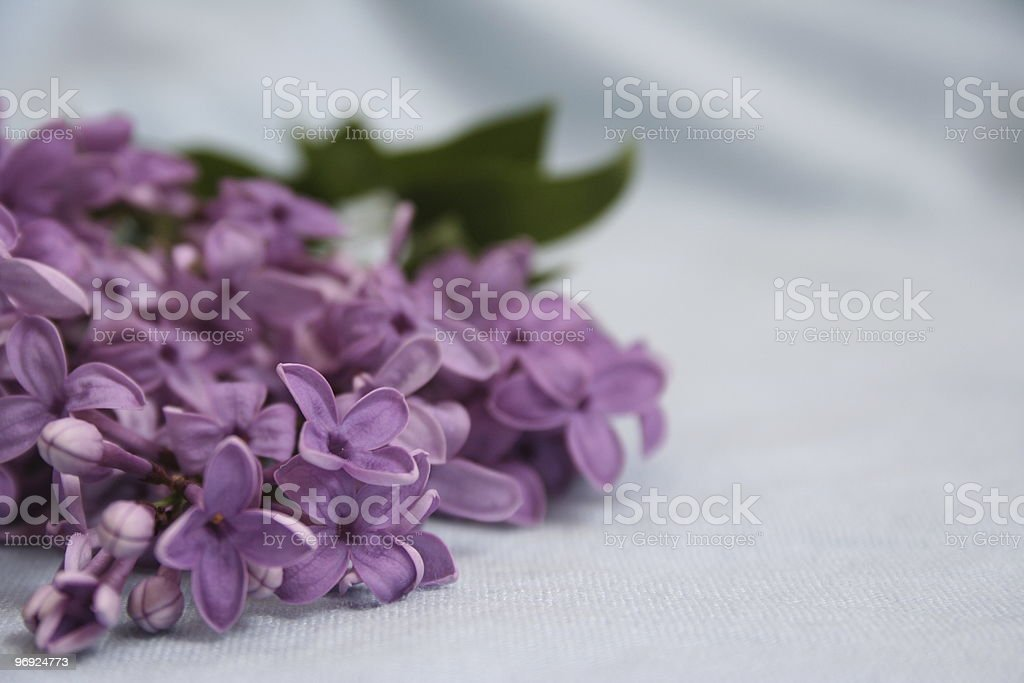 Lilac on blue material royalty-free stock photo