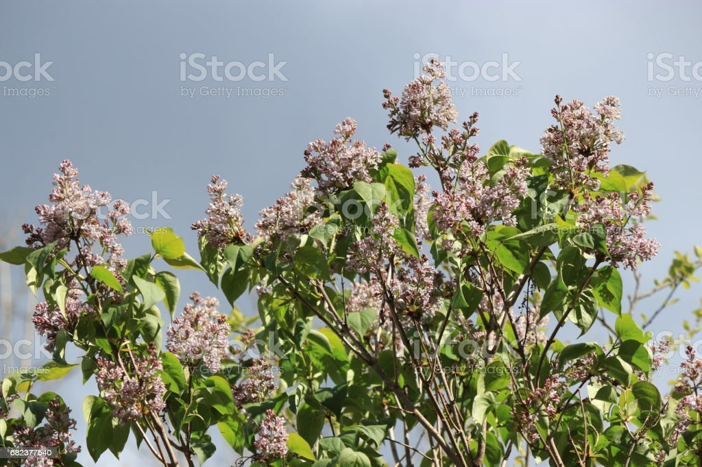 lilac or common lilac flower on tree foto de stock libre de derechos