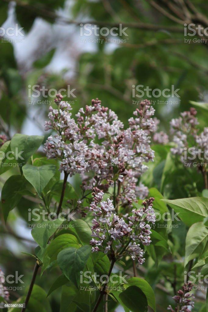 lilac or common lilac flower on tree zbiór zdjęć royalty-free