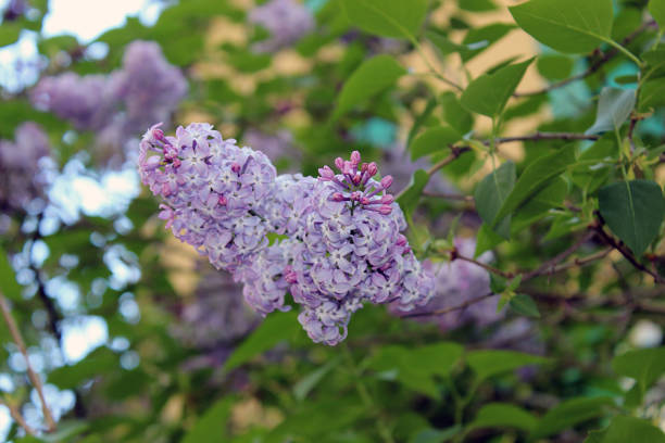 Lilac or Common lilac (Syringa vulgaris) in Teich Park, Ax-les-Thermes, Pyrenees Ariegeoises, France stock photo