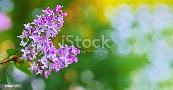 901386728 istock photo Lilac or syringe. Colorful purple lilacs blossoms with green leaves. Floral pattern. Lilac background texture. Lilac wallpaper. Copy space for text and frame with flowers 1138378581