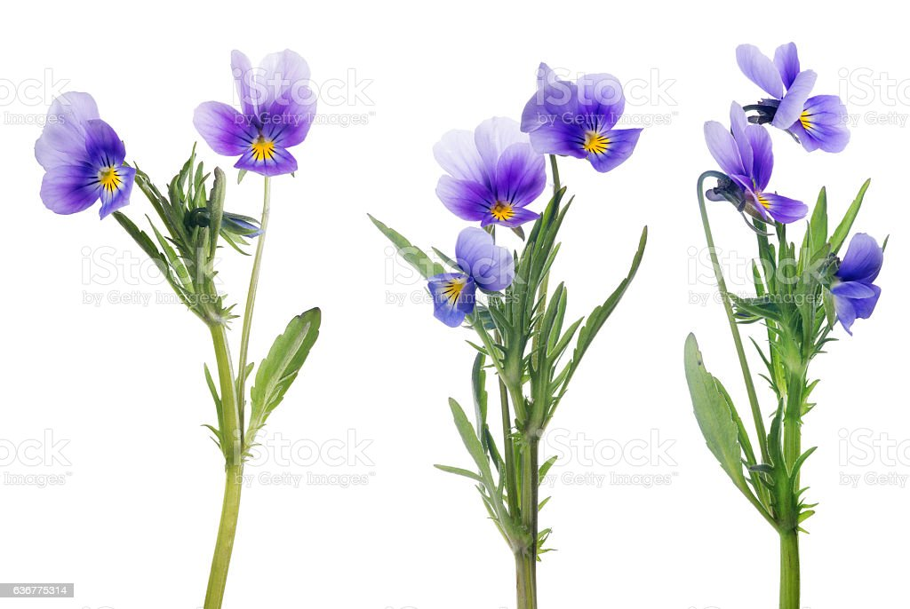 lilac pansy flowers collection isolated on white stock photo