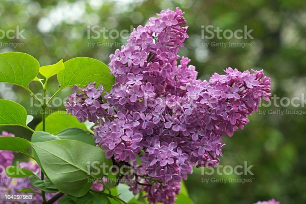 Photo of Lilac (Syringa vulgaris).