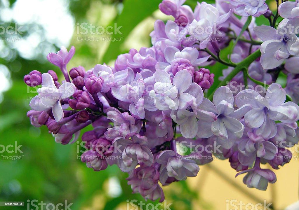 Lilac royalty-free stock photo