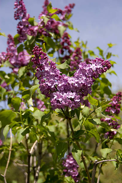 lilac - spring stock photos and pictures