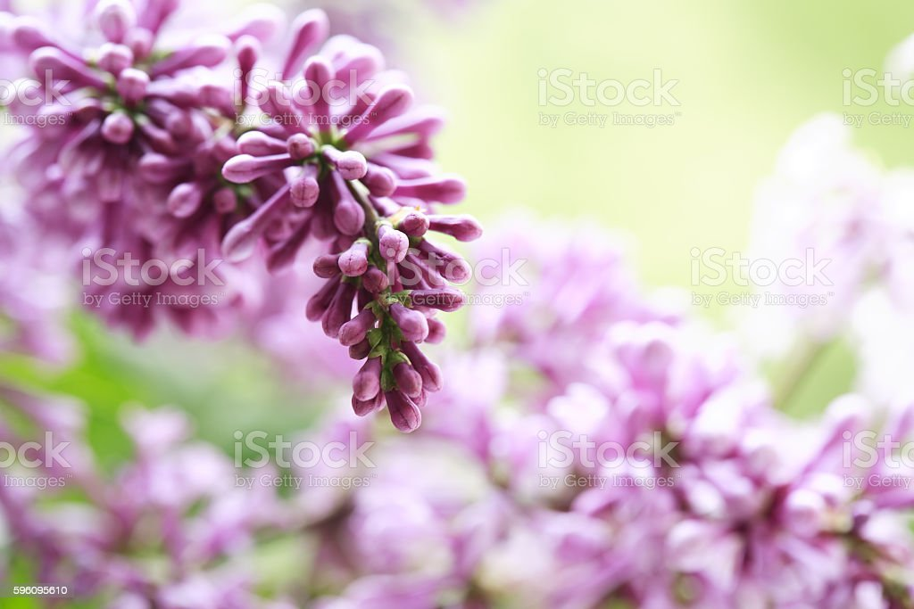Lilac Purple Twig Macro royalty-free stock photo