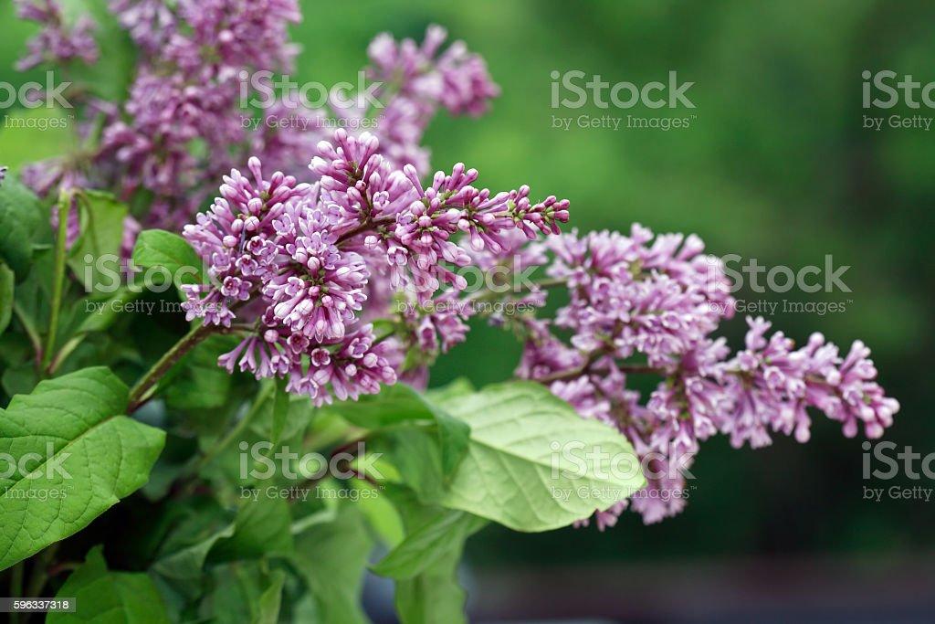 Lilac Purple Twig royalty-free stock photo
