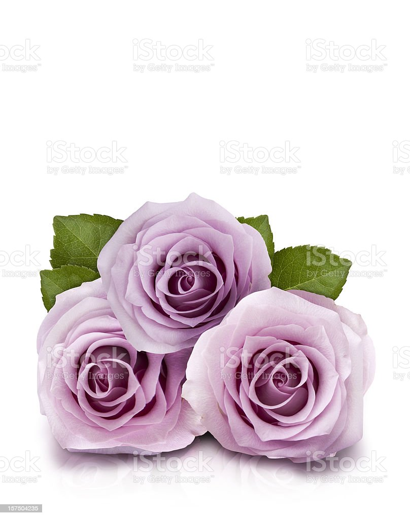 Lilac Roses stock photo